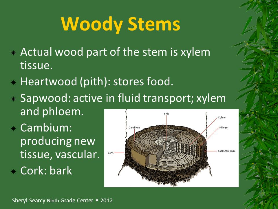 Woody Stems Actual wood part of the stem is xylem tissue.
