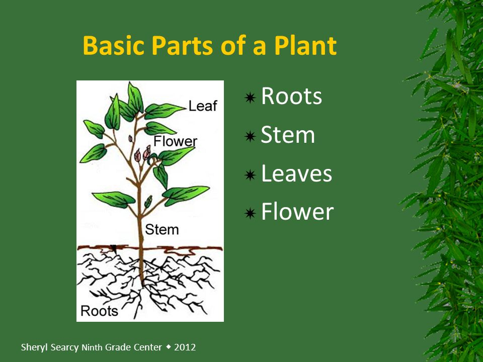 Basic Parts of a Plant Roots Stem Leaves Flower
