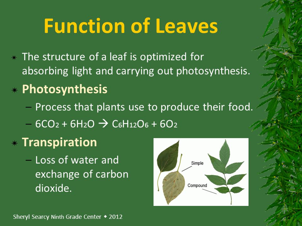 Function of Leaves Photosynthesis Transpiration