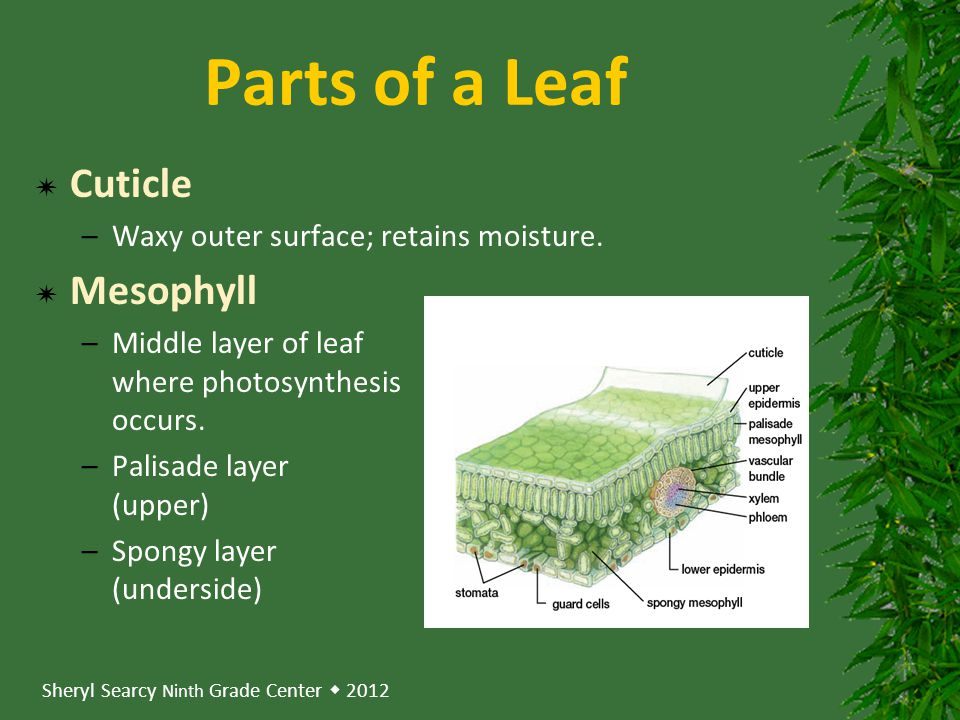 Parts of a Leaf Cuticle Mesophyll