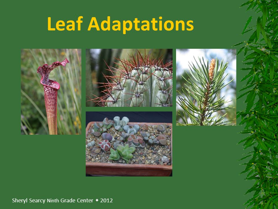 Leaf Adaptations
