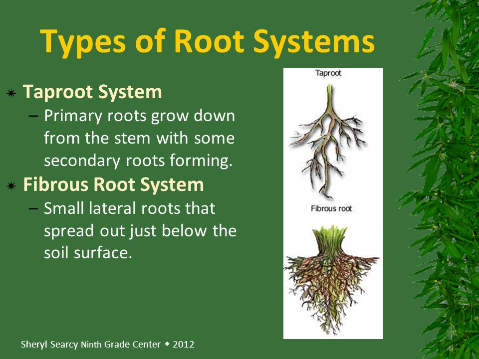 Types of Root Systems Taproot System Fibrous Root System