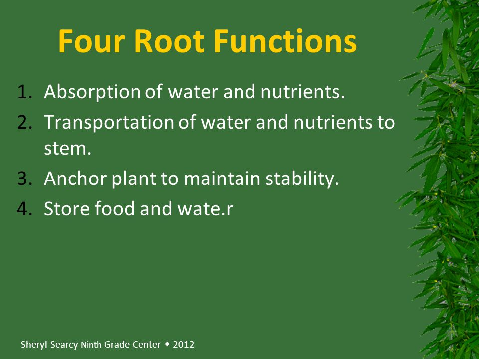 Four Root Functions Absorption of water and nutrients.
