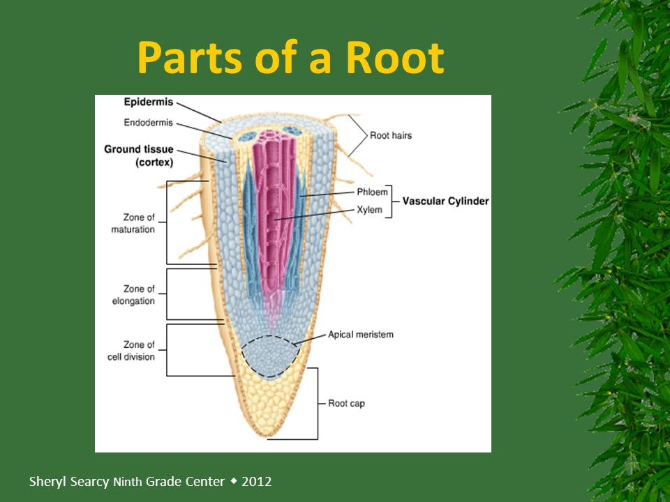 Parts of a Root