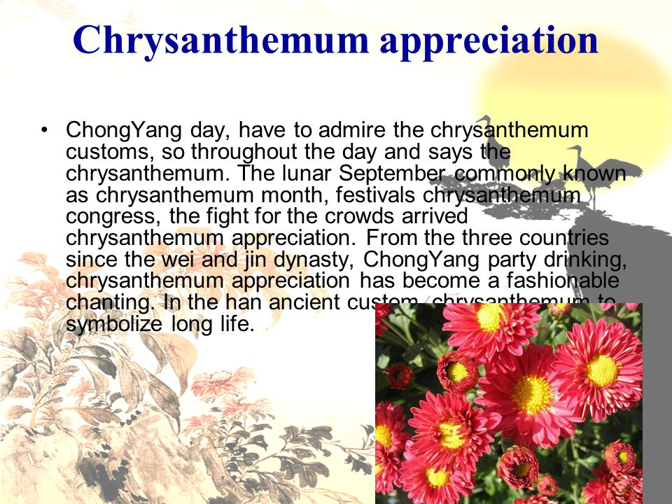 Chrysanthemum appreciation