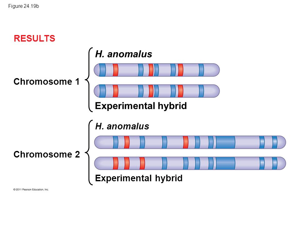H. anomalus Experimental hybrid RESULTS Chromosome 1 H. anomalus
