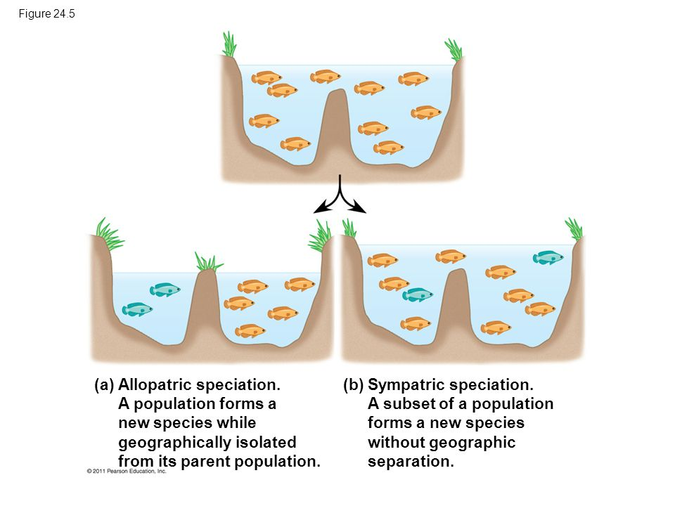 Allopatric speciation. A population forms a new species while