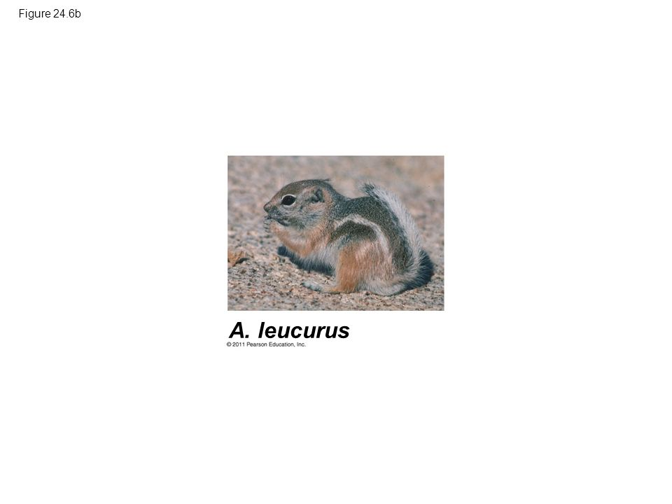 Figure 24.6b Figure 24.6 Allopatric speciation of antelope squirrels on opposite rims of the Grand Canyon.