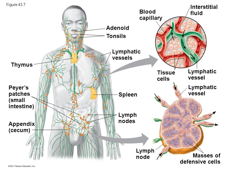 Peyer's patches (small intestine) Lymphatic vessel Spleen