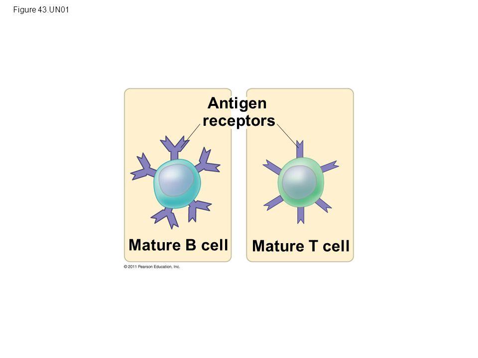 Antigen receptors Mature B cell Mature T cell Figure 43.UN01