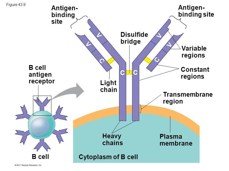 B cell antigen receptor Constant regions C C