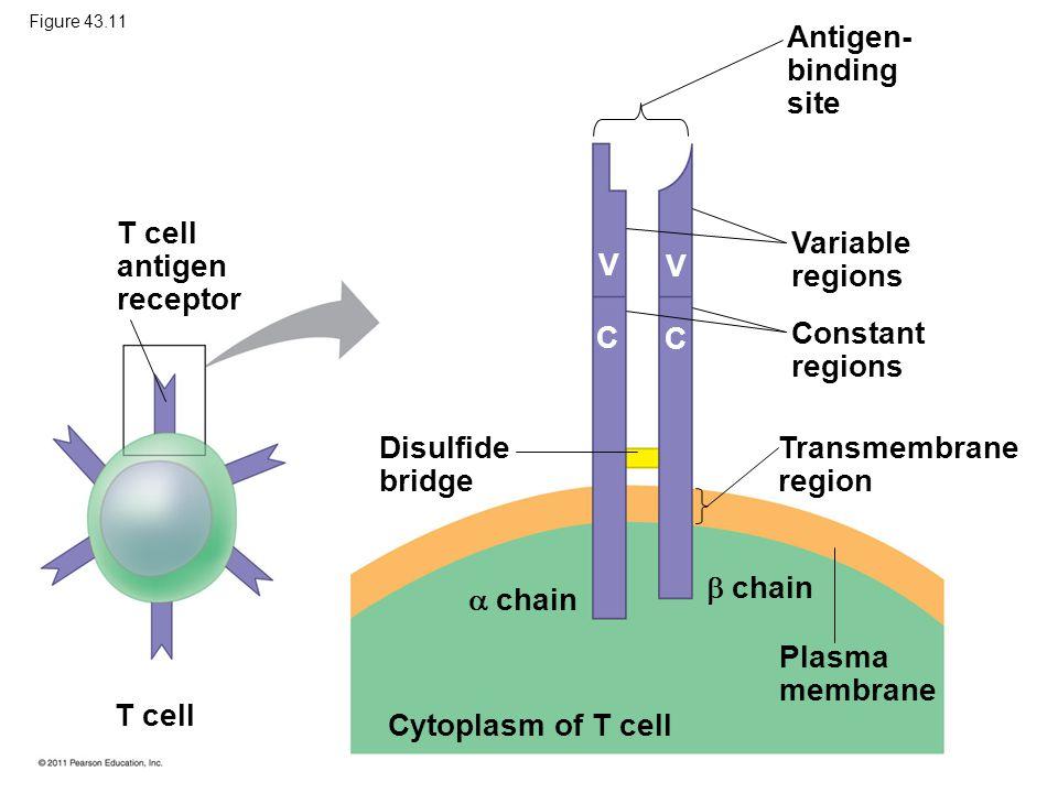 T cell antigen receptor Variable regions V V