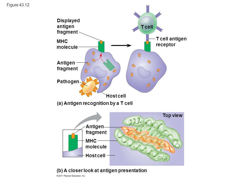 Displayed antigen fragment T cell