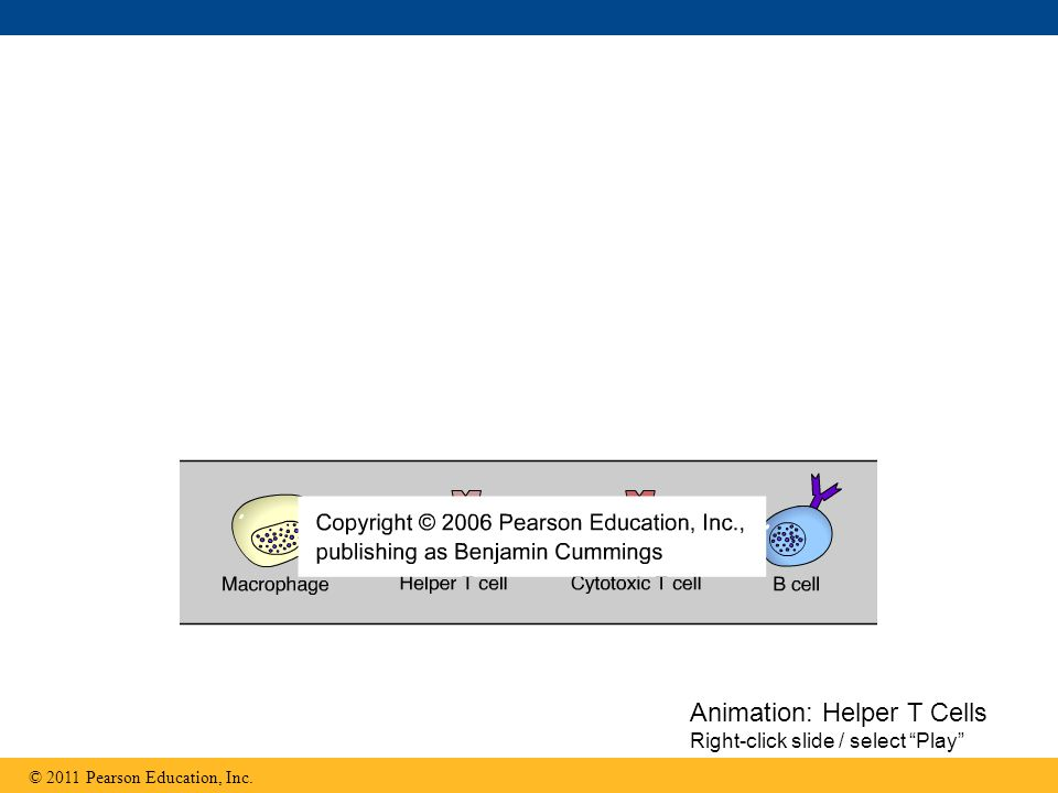 Animation: Helper T Cells Right-click slide / select Play