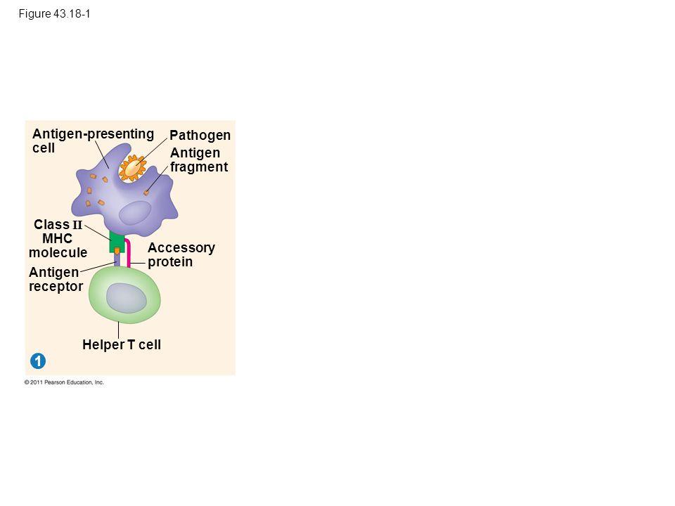 1 Antigen-presenting cell Pathogen Antigen fragment