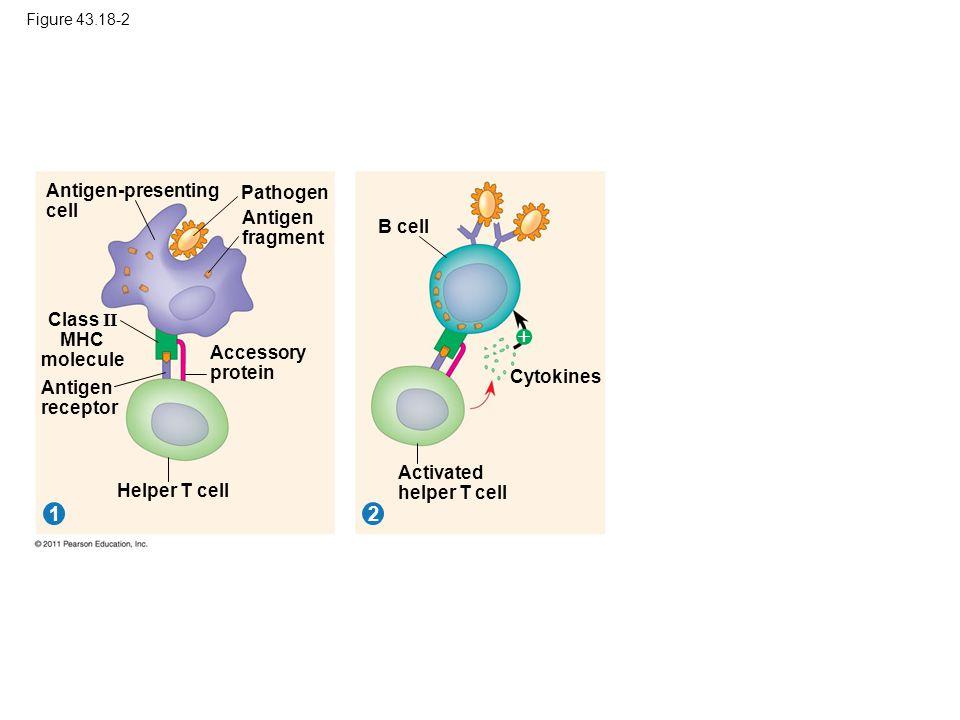  1 2 Antigen-presenting cell Pathogen Antigen fragment B cell