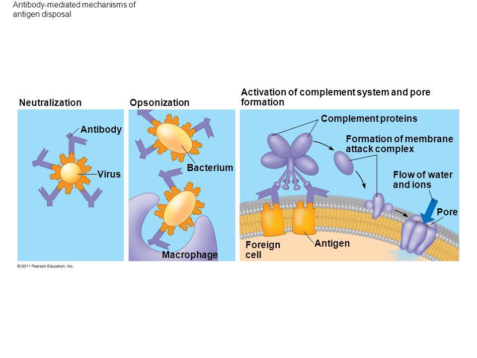 Antibody-mediated mechanisms of antigen disposal