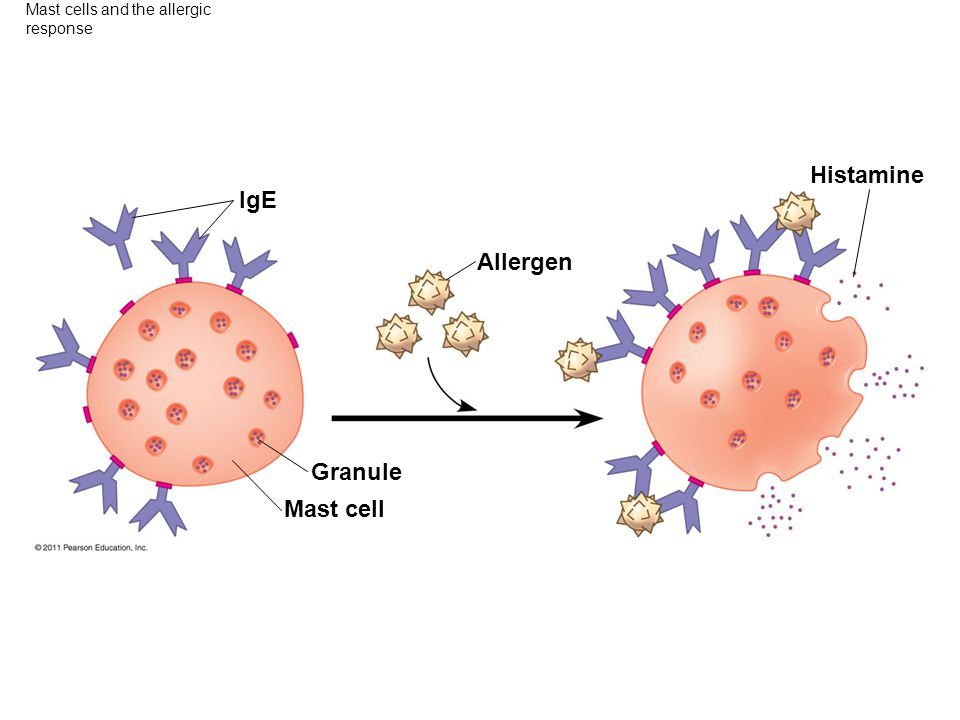 Mast cells and the allergic response