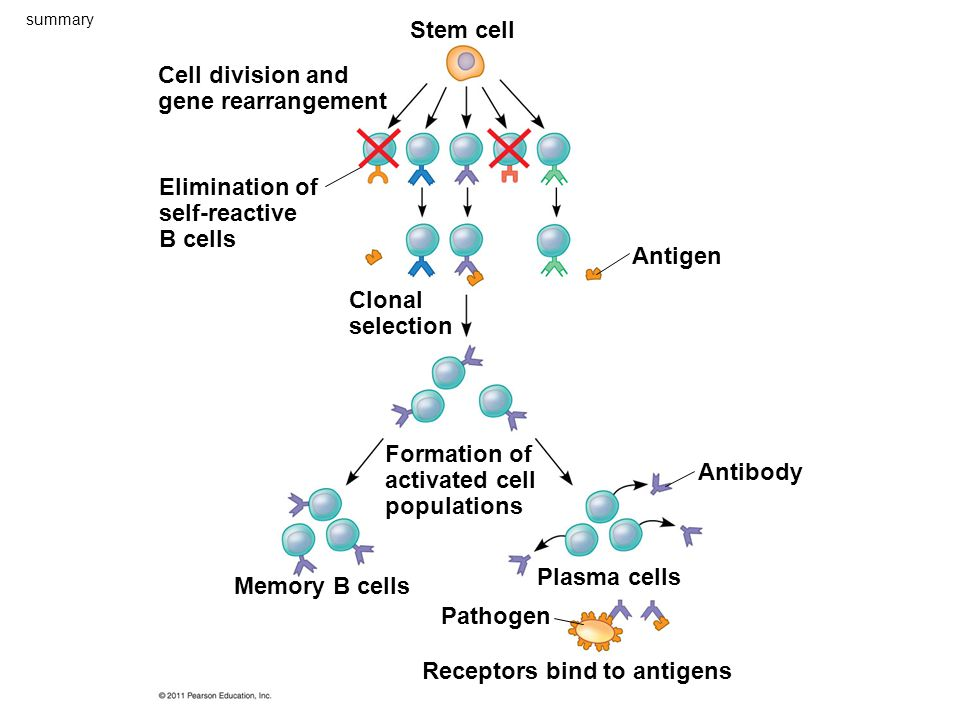 Cell division and gene rearrangement