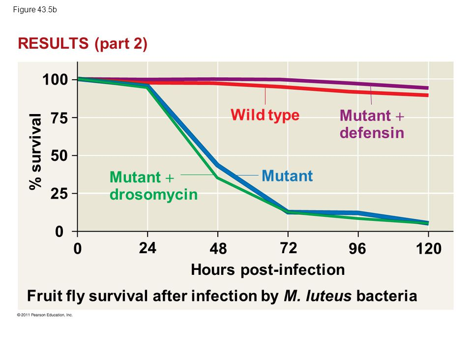 Fruit fly survival after infection by M. luteus bacteria