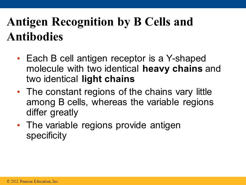 Antigen Recognition by B Cells and Antibodies