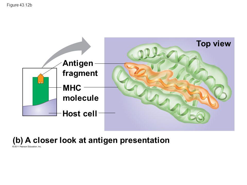 (b) A closer look at antigen presentation