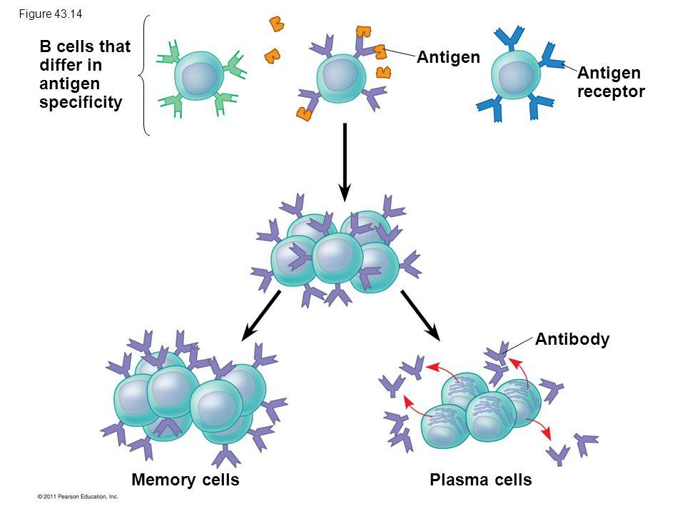B cells that differ in antigen specificity Antigen Antigen receptor