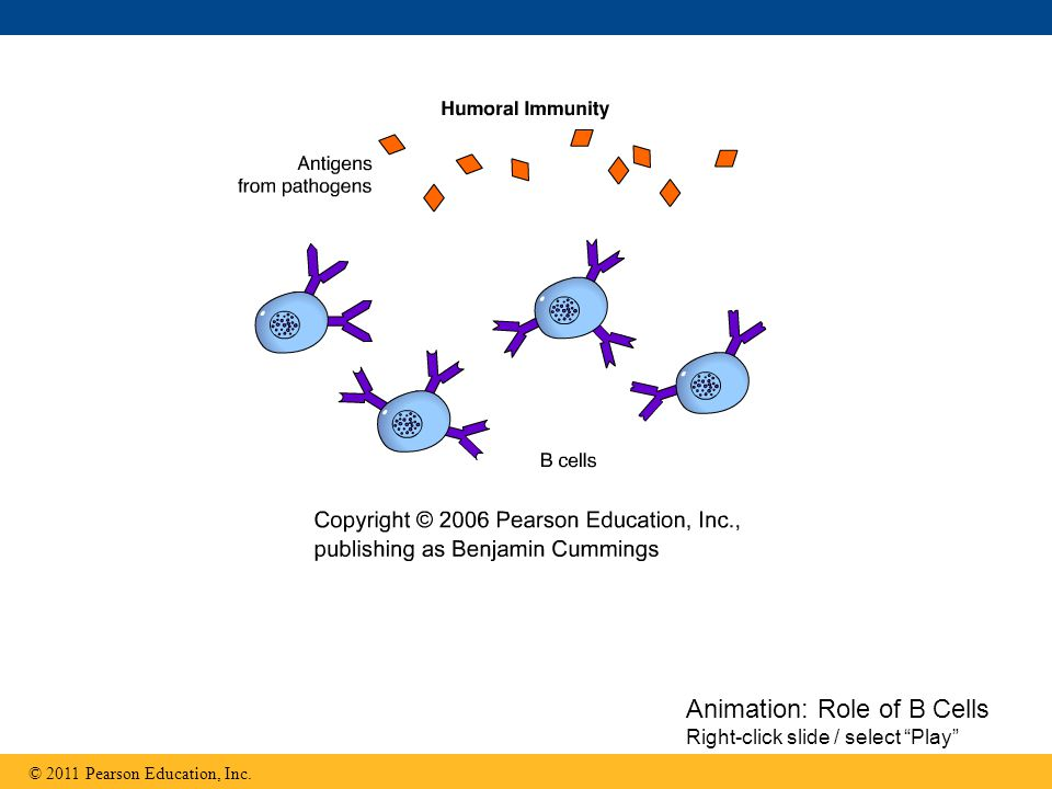Animation: Role of B Cells Right-click slide / select Play
