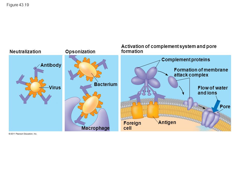 Activation of complement system and pore formation Neutralization