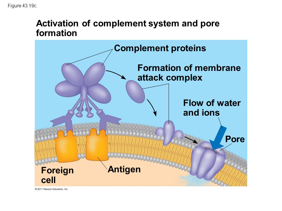 Activation of complement system and pore formation