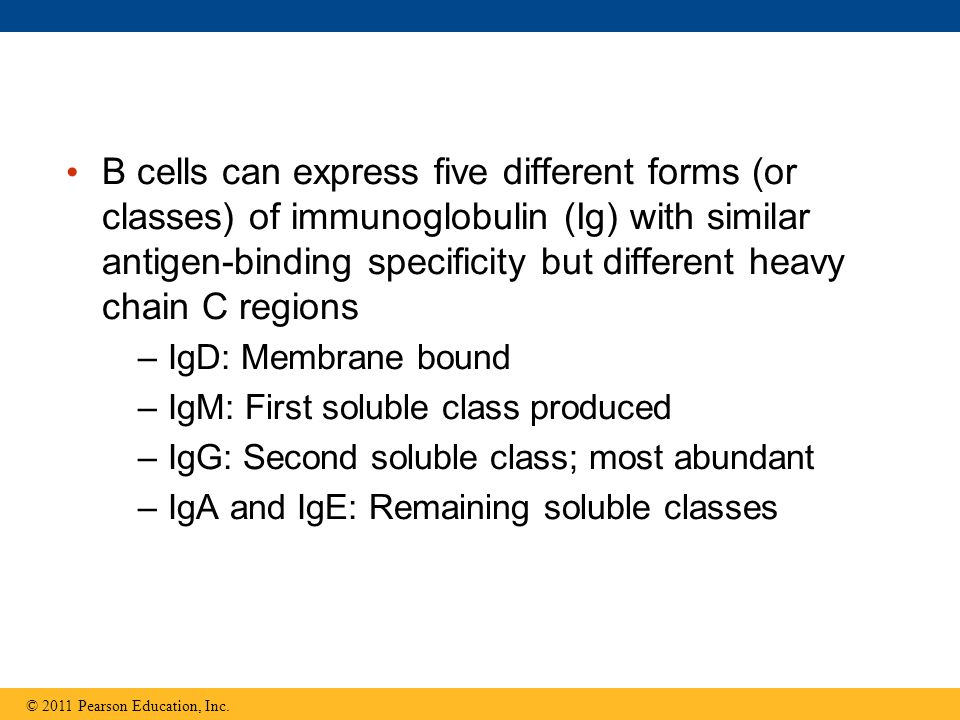 B cells can express five different forms (or classes) of immunoglobulin (Ig) with similar antigen-binding specificity but different heavy chain C regions