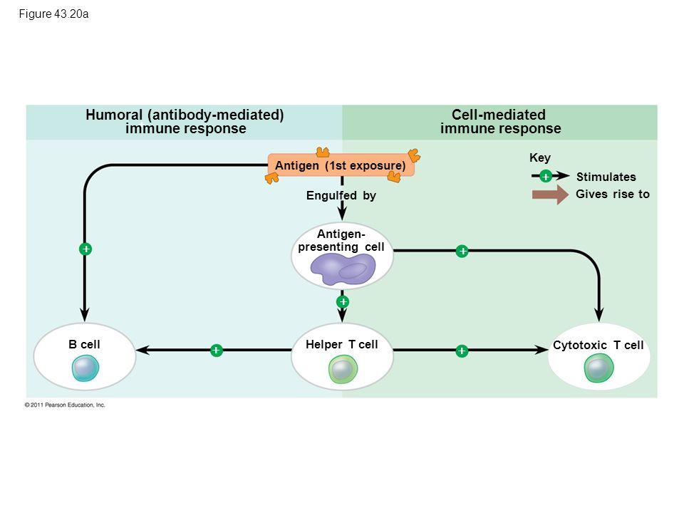 Humoral (antibody-mediated) immune response