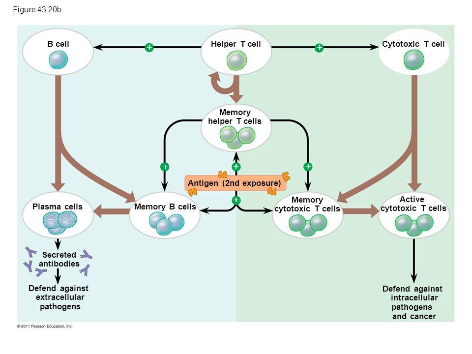 Memory cytotoxic T cells Active cytotoxic T cells Plasma cells