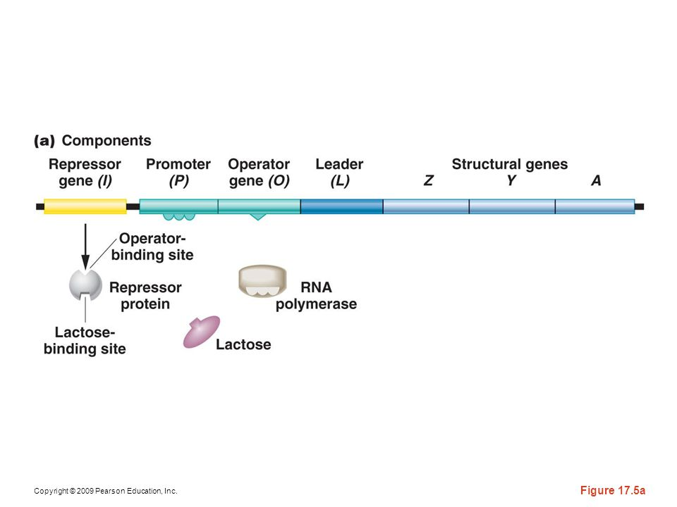 Figure 17-5a The components of the wild-type lac operon and the response in the absence and the presence of lactose.