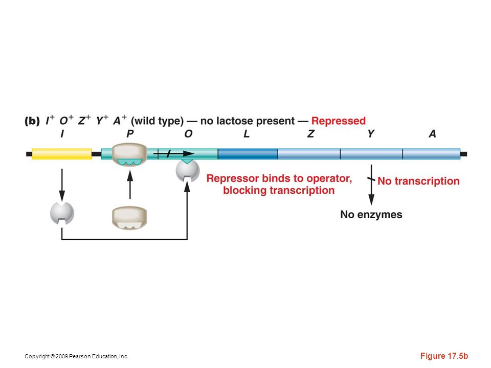 Figure 17-5b The components of the wild-type lac operon and the response in the absence and the presence of lactose.