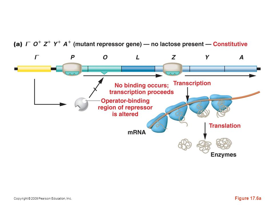 Figure 17-6a The response of the lac operon in the absence of lactose when a cell bears either the or the mutation.