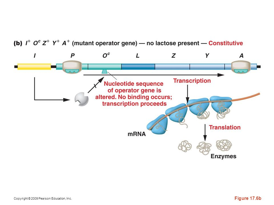 Figure 17-6b The response of the lac operon in the absence of lactose when a cell bears either the or the mutation.