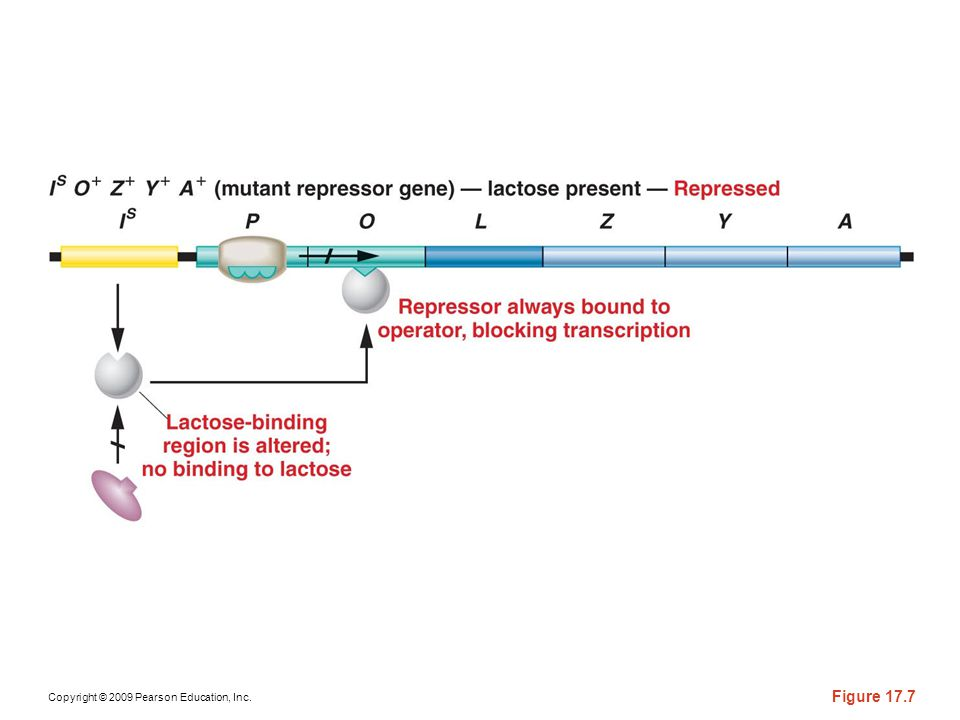 Figure 17-7 The response of the lac operon in the presence of lactose in a cell bearing the IS mutation.