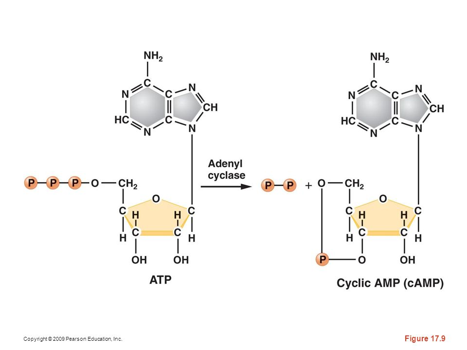 Figure 17-9 The formation of cAMP from ATP, catalyzed by adenyl cyclase.