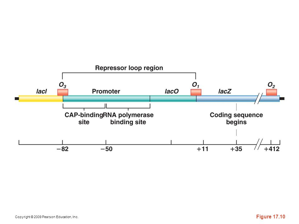 Figure 17-10 A detailed depiction of various regulatory regions involved in the control of genetic expression of the lac operon, as described in the text. The numbers on the bottom scale represent nucleotide sites upstream and downstream from the initiation of transcription.