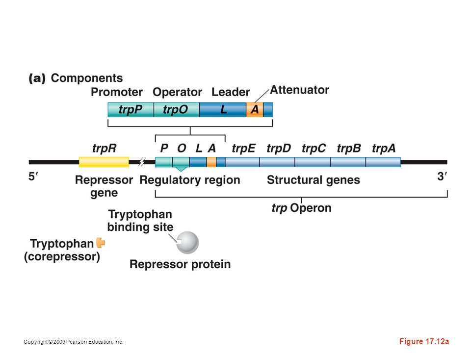 Figure 17-12a (a) The components involved in the regulation of the tryptophan operon. (b) Regulatory conditions are depicted that involve either activation or (c) repression of the structural genes. In the absence of tryptophan, an inactive repressor is made that cannot bind to the operator (O), thus allowing transcription to proceed. In the presence of tryptophan, it binds to the repressor, causing an allosteric transition to occur. This complex binds to the operator region, leading to repression of the operon.
