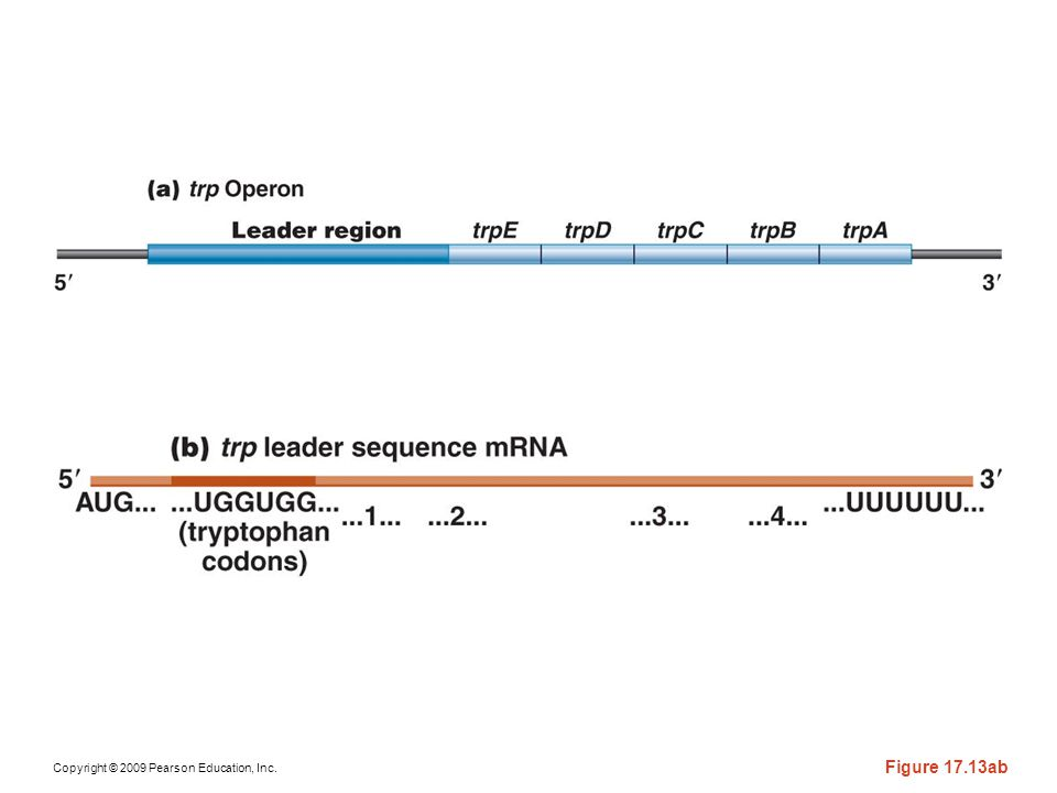 Figure 17-13ab Diagram of the involvement of the leader sequence of the mRNA transcript of the trp operon of E. coli during attenuation. (a) The -leader sequence of the trp operon is expanded to identify the portions encoding the leader peptide (LP) and the attenuator region (A). Critical nucleotide sequences, including the UGG triplets that encode tryptophan, are also identified; (b) the terminator hairpin, which forms when the ribosome proceeds during translation of the trp codons; and (c) the antiterminator hairpin, which forms when the ribosome stalls at the trp codons because tryptophan is scarce.