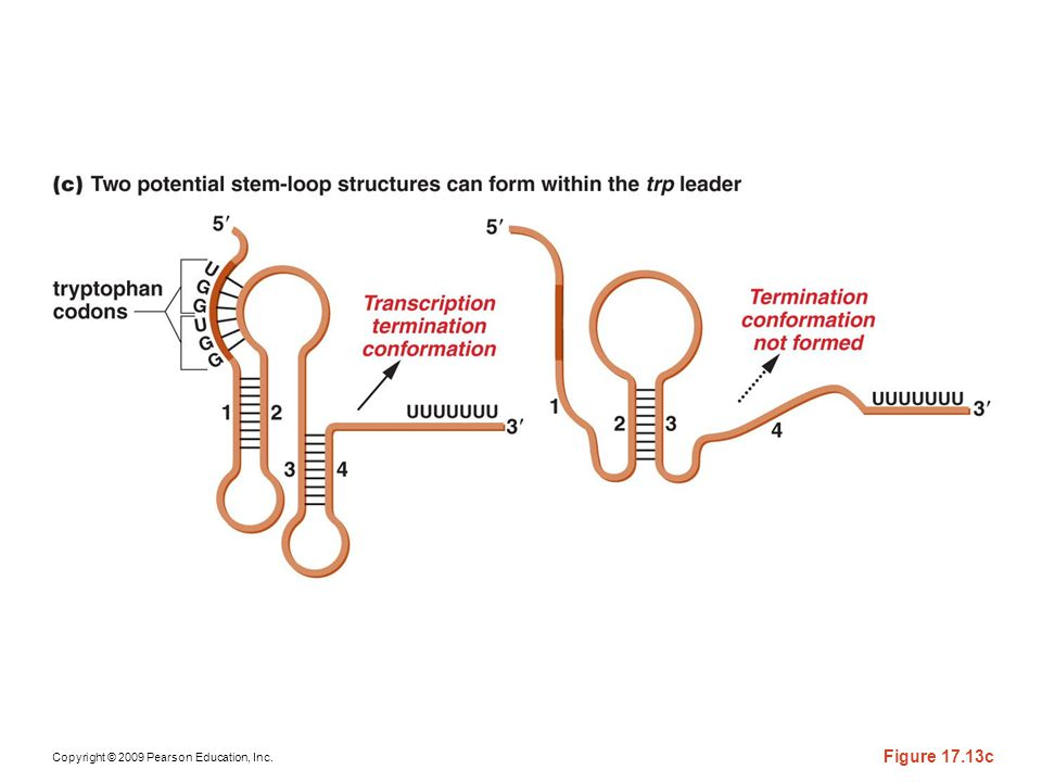 Figure 17-13c Diagram of the involvement of the leader sequence of the mRNA transcript of the trp operon of E. coli during attenuation. (a) The -leader sequence of the trp operon is expanded to identify the portions encoding the leader peptide (LP) and the attenuator region (A). Critical nucleotide sequences, including the UGG triplets that encode tryptophan, are also identified; (b) the terminator hairpin, which forms when the ribosome proceeds during translation of the trp codons; and (c) the antiterminator hairpin, which forms when the ribosome stalls at the trp codons because tryptophan is scarce.