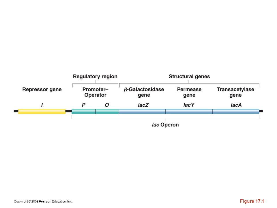 Figure 17-1 A simplified overview of the genes and regulatory units involved in the control of lactose metabolism. (This region of DNA is not drawn to scale.) A more detailed model will be developed later in this chapter. (See Figure 17–10.)