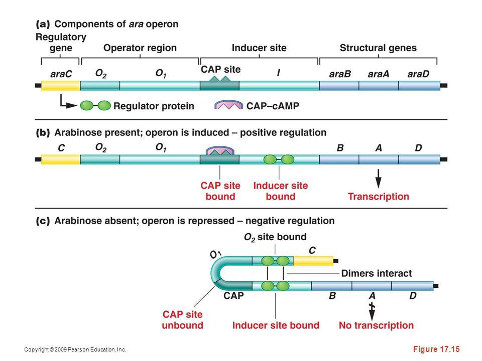 Figure 17-15 Genetic regulation of the ara operon