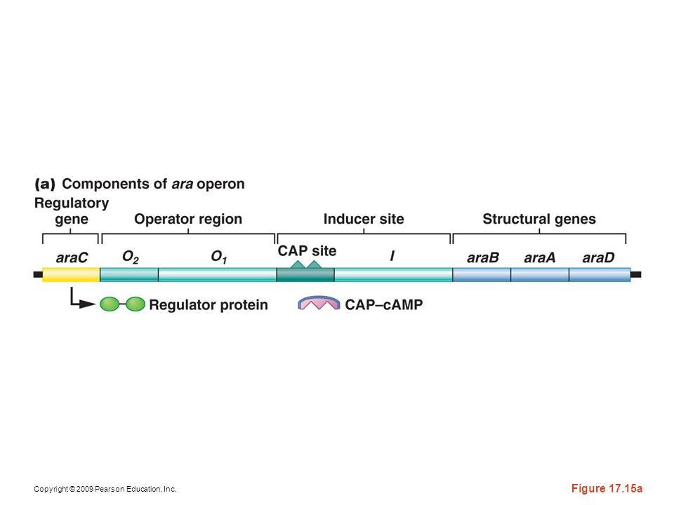 Figure 17-15a Genetic regulation of the ara operon