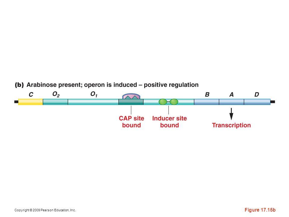 Figure 17-15b Genetic regulation of the ara operon