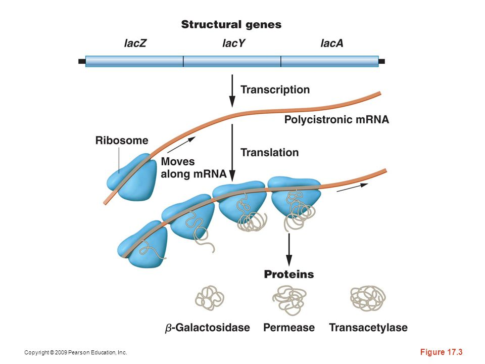 Figure 17-3 The structural genes of the lac operon are transcribed into a single polycistronic mRNA, which is translated simultaneously by several ribosomes into the three enzymes encoded by the operon.