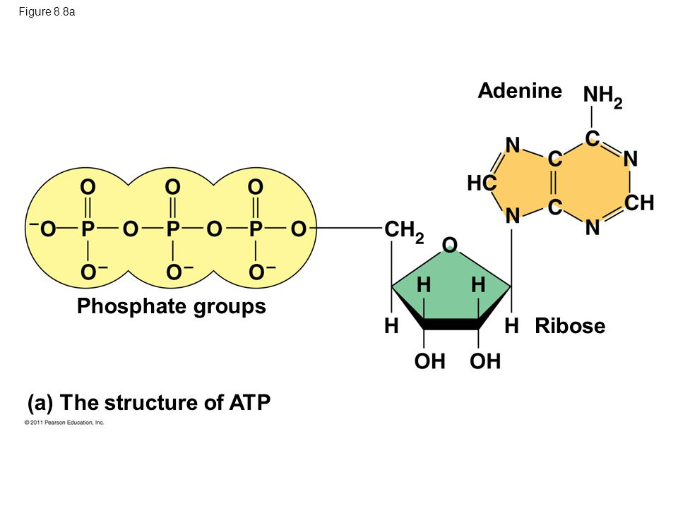 (a) The structure of ATP