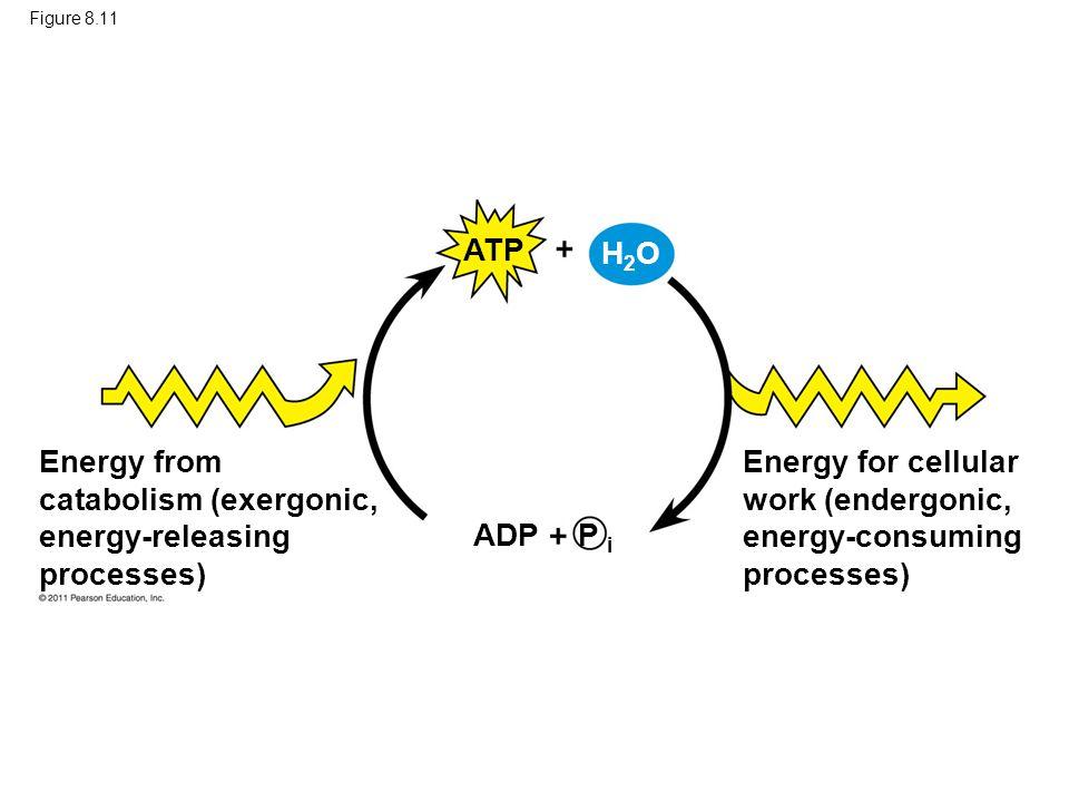 Energy from catabolism (exergonic, energy-releasing processes)
